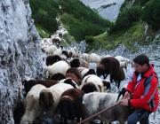 Schafschoad 2012 – Tiroler Bergschafe 2272 Meter über Seehöhe