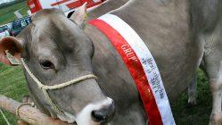 Die Gesamtsiegerin beim Maifest und 6. Braunviehschau 2011 am Badesee in Mieming. Foto: Knut Kuckel