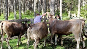Viehauftrieb zum Vorberg der Marienbergalpe, Foto: Knut Kuckel
